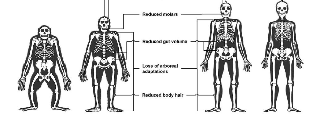 Yuval Noah Harari, Sapiens, lecture critique (3) : le muscle et lacervelle